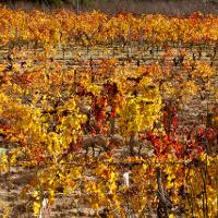 Cannonau wine Sardinia