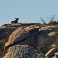 Sardinian mouflon